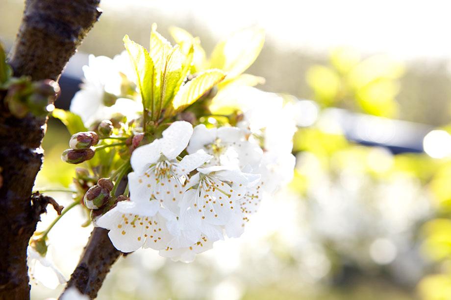 Apfelblüte als Symbolbild für die besten Wünsche für das Neue Jahr