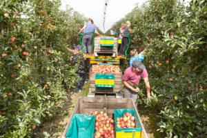 Apfelernte auf dem Zedernhof