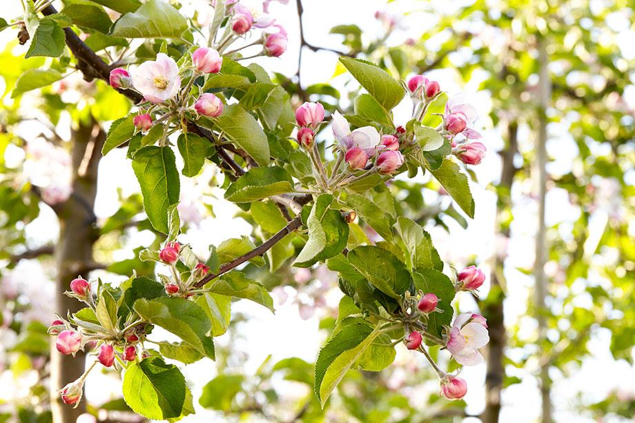 Blühender Apfelbaum Jonagold als Foto im Beitrag Frostschutz für Pflanzen im Frühjahr