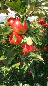 Apfelsorten Elstar und Wellant