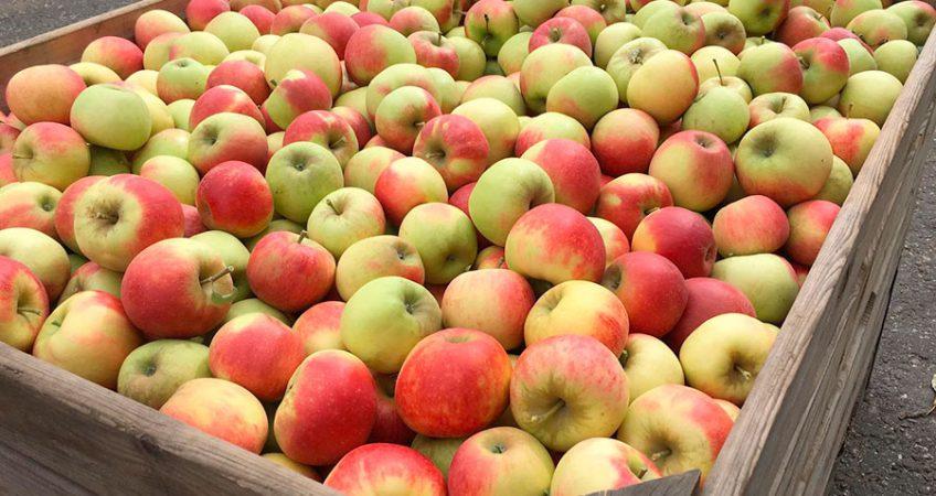 Apfel Elstar - Bild einer Apfelkiste