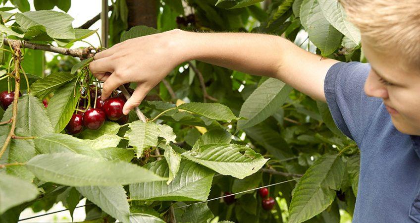 Frucht mit Tradition: Kirsche