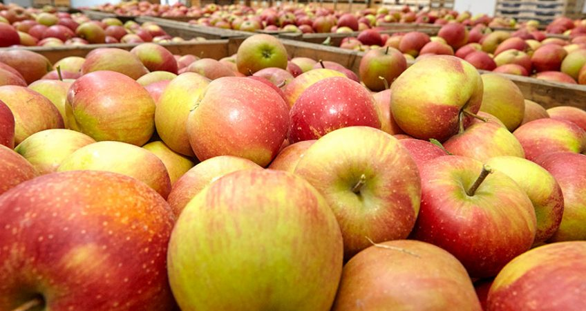 Lagerung unserer Äpfel – energiesparend für unsere Umwelt