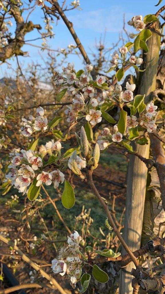 Foto der Birnenblüte auf dem Zedernhof